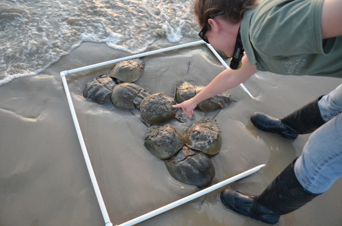 Horseshoe Crab spawning survey on Delaware Bay beaches