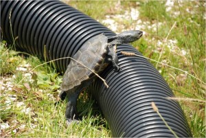 Picture 6 - Adult female terrapin attempting to scale corrugated tube