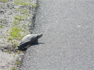 An adult female terrapin digs a nest near busy salt marsh road.