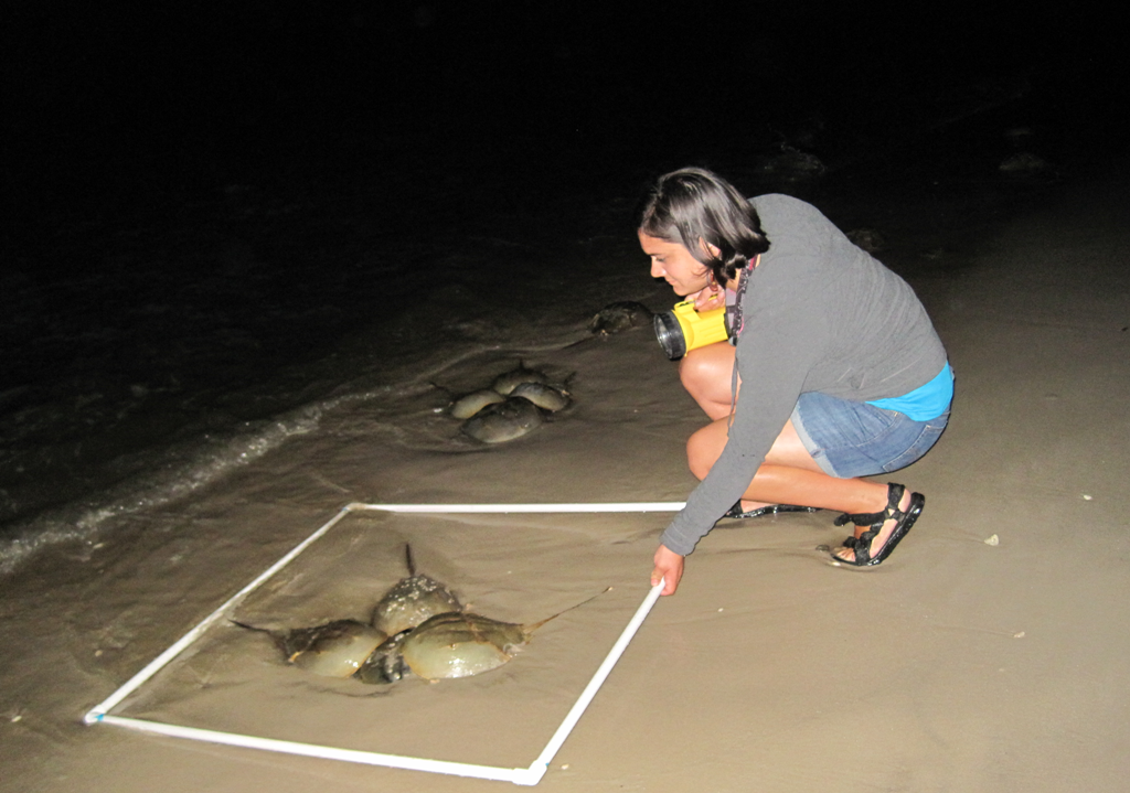 Counting spawning horseshoe crabs using protocols adopted for the baywide census