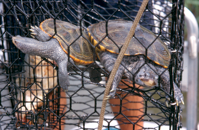 Terrapins caught in ghost trap
