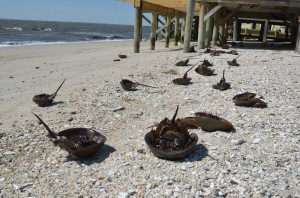 2013-05_dead-horseshoe-crabs