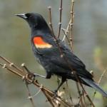 Red winged Blackbird_Walter Siegmund_Compressed