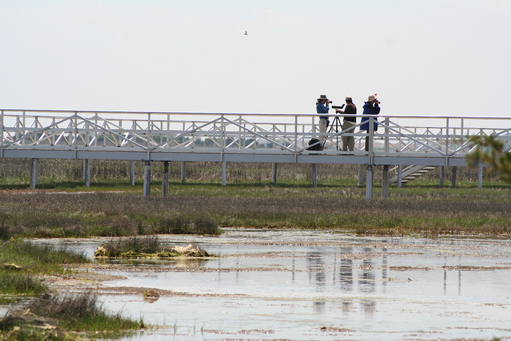 Bird watching from the elevated marsh walkway