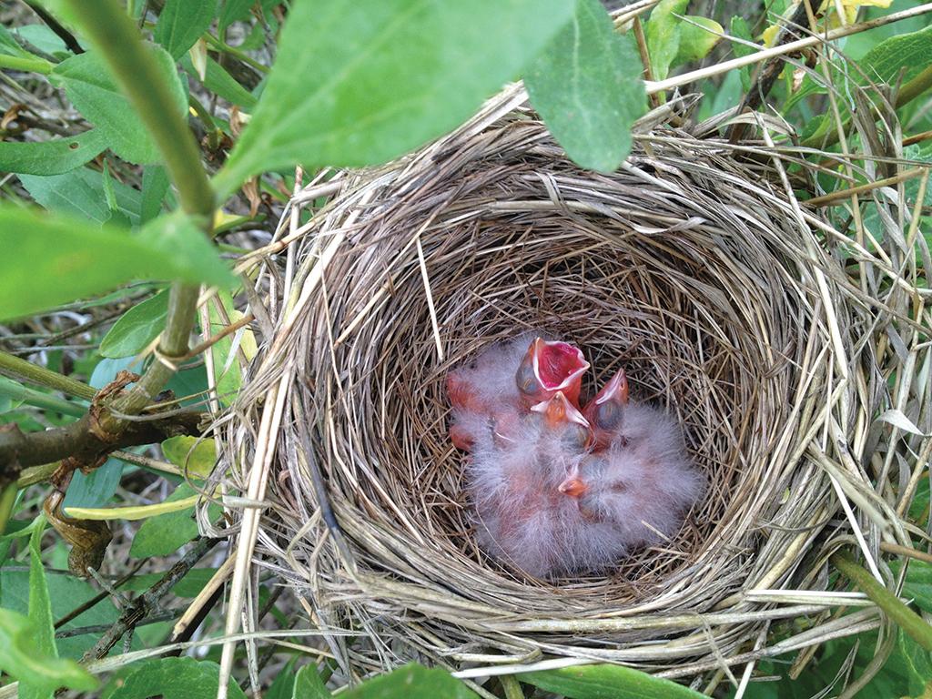 Marsh nestlings
