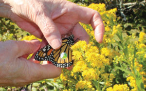 Monarch Ambassador releasing a tagged butterfly in the Institute's gardens