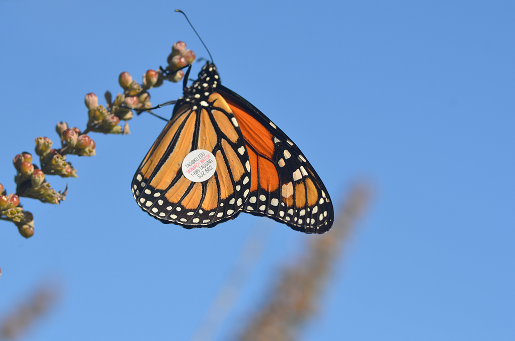 2013 - Tagged monarch at The Wetlands Institute