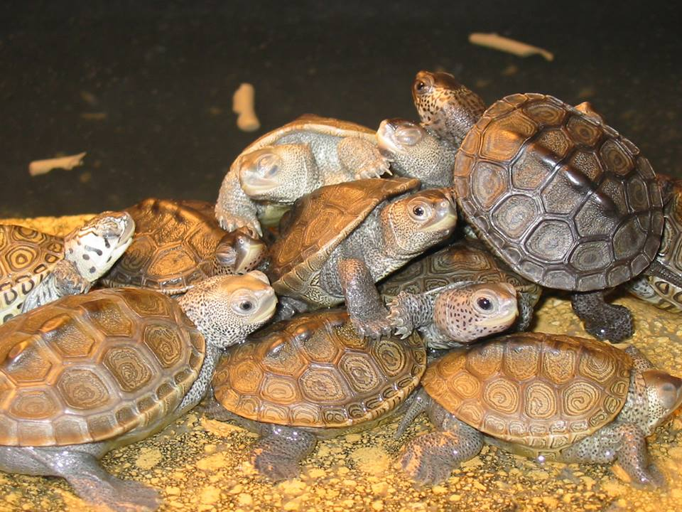Terrapin hatchlings