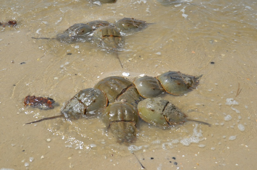 how to clean a horseshoe crab