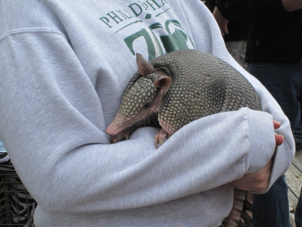 Philly Zoo demonstrating an armadillo