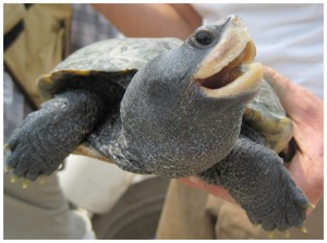 Adult female diamondback terrapin