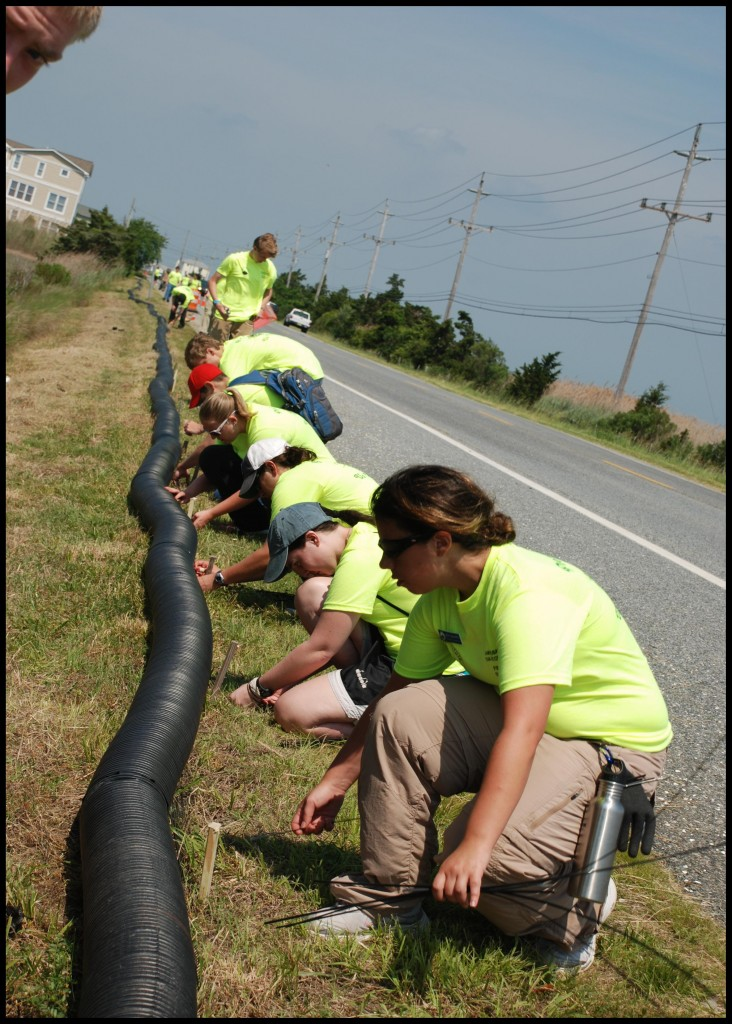 Student researchers and volunteers install a new terrapin barrier fence design, corrugated tube (invented by Institute Research Committee member, Dr. John Cuthbert)