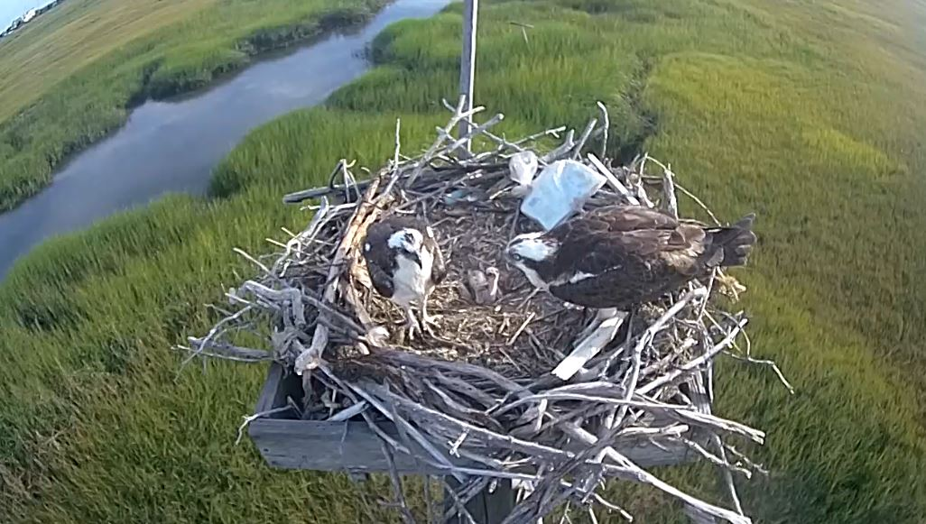 2016 Osprey Nest
