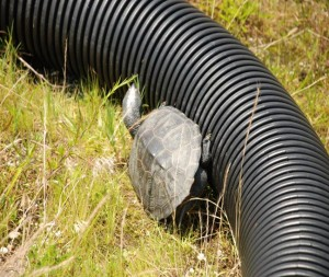 Terrapin fails to scale the tube fencing