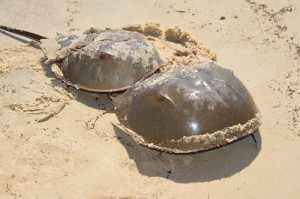 2013-05-Horseshoe-Crabs-web