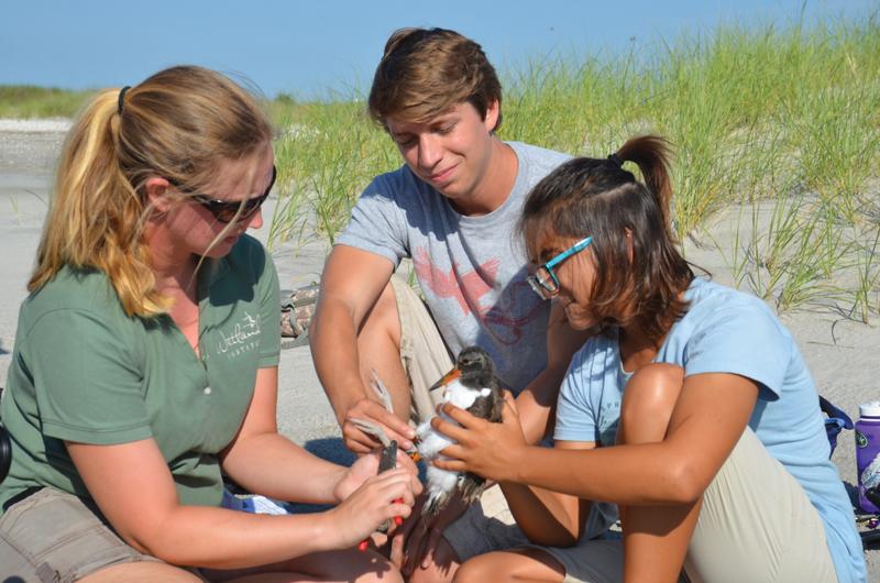 Banding American Oystercatchers