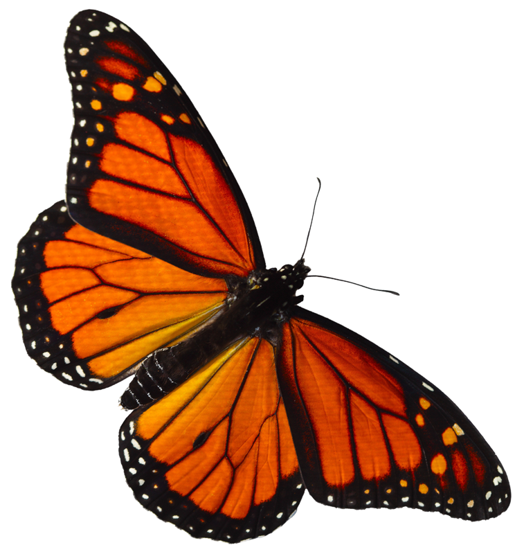 Monarch-butterfly - The Wetlands Institute