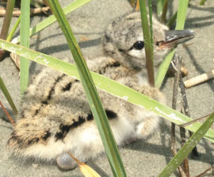 American Oystercatcher chick on Ring Island