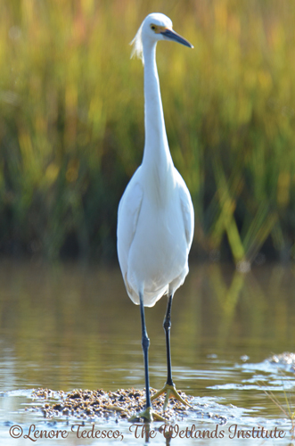 Snowy Egret at The Wetlands Institute
