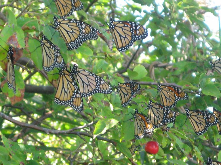Monarch Point Counts