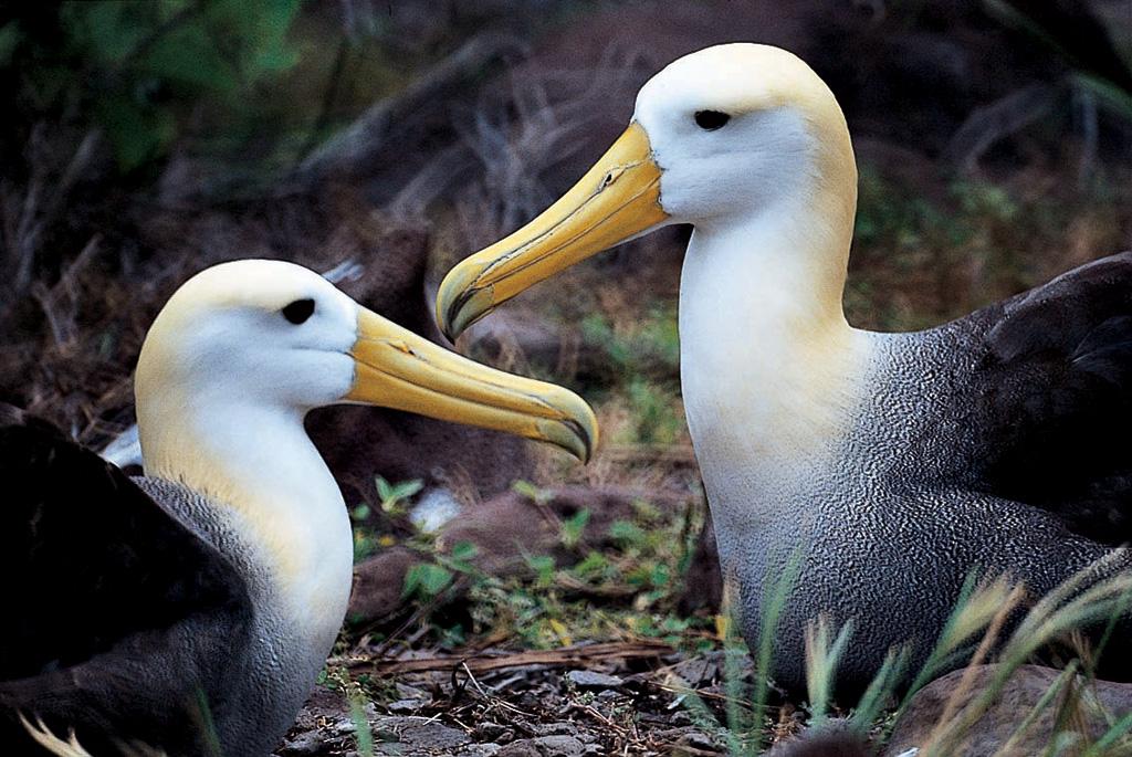 Waved-albatross.HR